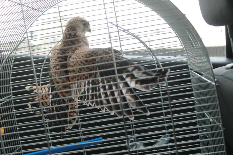 Орнитологи попросили москвичей не тревожить молодых соколов-пустельг. Фото: архив